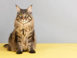 de liefste kattenrassen voor gezinnen: main coon