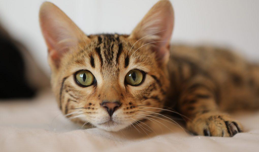 waarom volgt je kat je overal